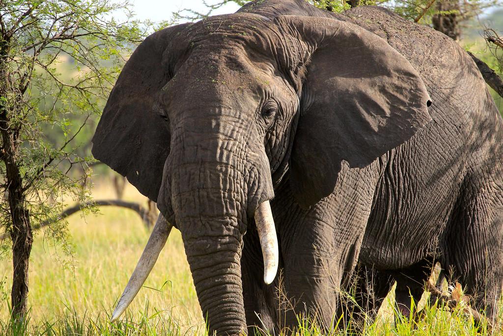 Bull Elephant<br /> Serengeti, Tanzania<br /> March 2012