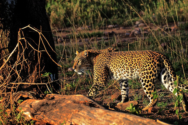 Leopard slips away into the night