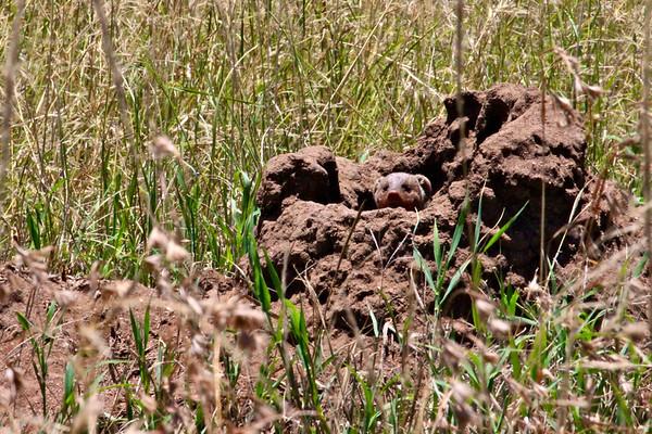 Mongoose sighting.