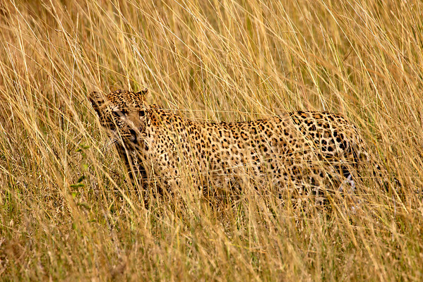 If you never felt you had a conclusive answer as to why leopards have spots.... Serengeti, Tanzani March 2012