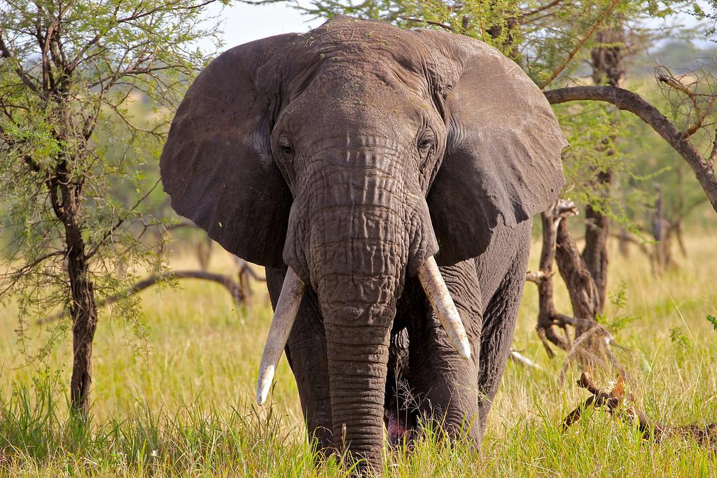 Bull Elephant<br /> The Serengeti, Tanzania<br /> March 2012