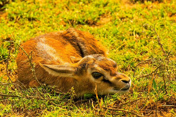 Tiny, tiny antelope curled up to avoid being seen amid the churning hooves of the migration.