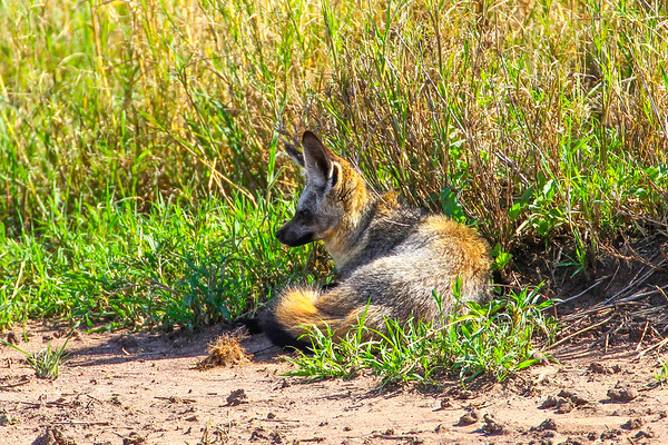 Bat-eared foxes.  Not a great photo, but they are pretty elusive.