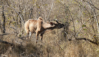 Jeune mâle koudou.    Young male kudu