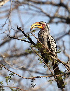 Calao à bec jaune-Tockus leucomelas-Southern yellow-billed hornbill. Surnom : la banane volante.   Nick name : flying banana