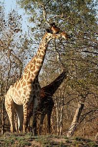 Girafe-Giraffa cameopardalis-Giraffe