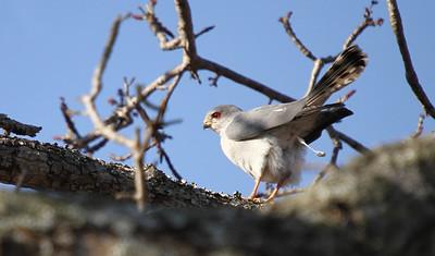 Elanion blanc-Elanus caeruleus-Black-shouldered kite