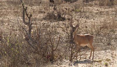 Raphicère champêtre-Raphicérus campéstris-Steinbok  Une autre petite antilope timide, celle ci, sans les cornes est une femelle et elle est portante.   This other small and shy antelope is a steinbok, It's a female, without horn and she's pregnant.