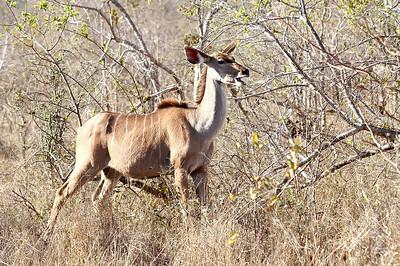 Grand koudou-Tragelaphus strepsiceros-Kudu Juste avant mon arrivée il y a eu trois jours de pluie, la végétation repars, ce qui fait le regale de cette femelle koudou.    Juste before my venue, it's raining during 3 days. You can see the news leaves green, eaten by this female kudu.