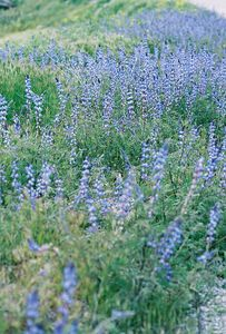 3/6/05 Arroyo/Succulent Lupine (Lupinus succulentis). Hills on north side of Wilson Valley Rd, between Hwy 371 and Reed Valley Rd (northwest of Aguanga). Riverside County, CA