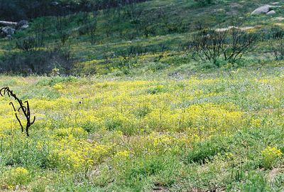3/6/05 Hills on north side of Wilson Valley Rd, between Hwy 371 and Reed Valley Rd (northwest of Aguanga). Riverside County, CA