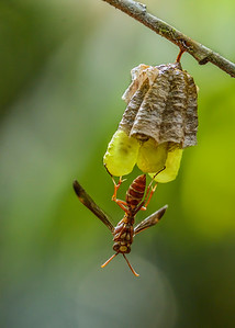 Standing guard - Paper Wasp