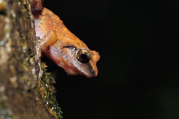 Wayanad Bush Frog...