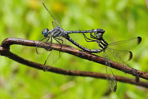 Mating pair of Dragon Flies