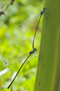 Blue-tailed Damselflies....