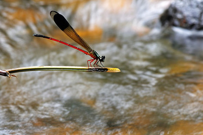 Malabar Torrent Dart (male)