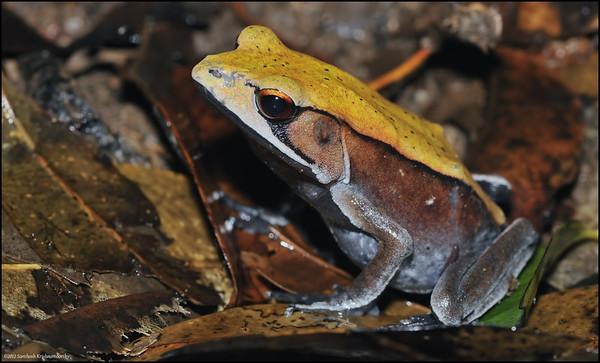 Bi-colored frog.....