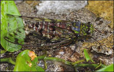 Cicada.....