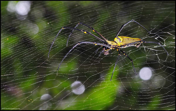 Giant wood spider....