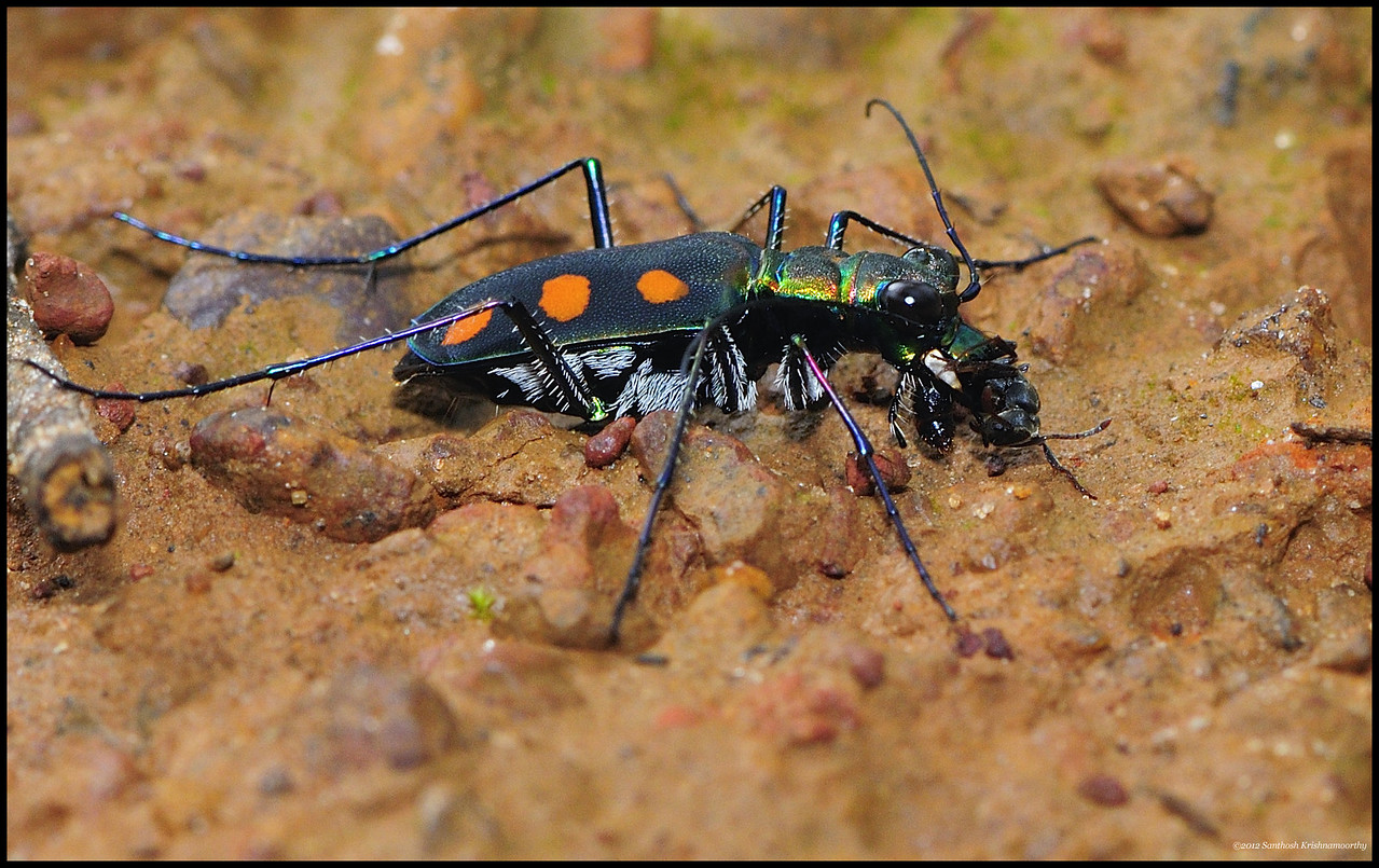 Tiger beetle with a kill......