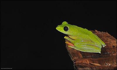Malabar gliding frog......