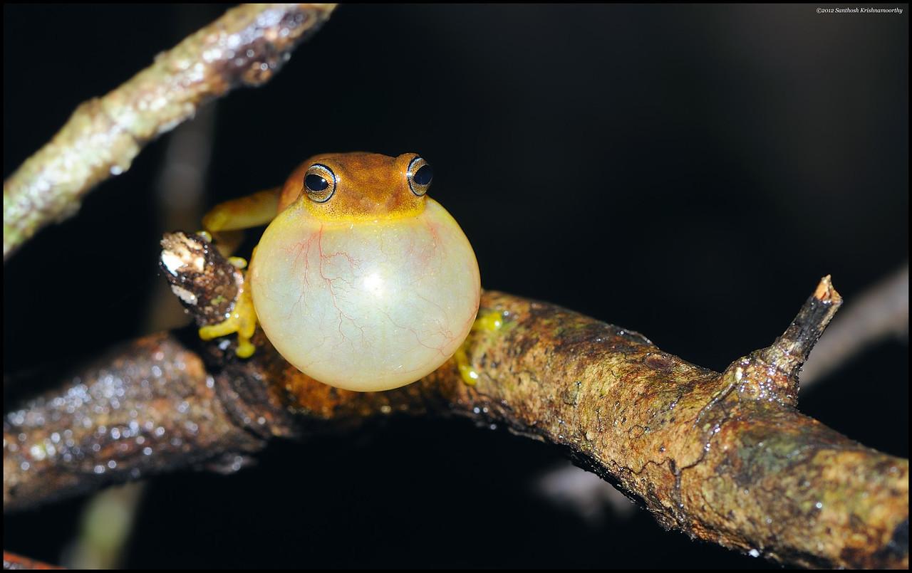 Blue eyed bush frog.....