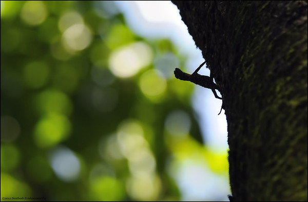 Draco - South Indian Flying Lizard