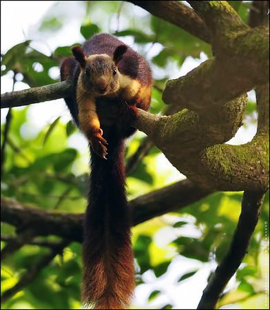 Wanna shake my hand....says the Malabar Giant Squirrel