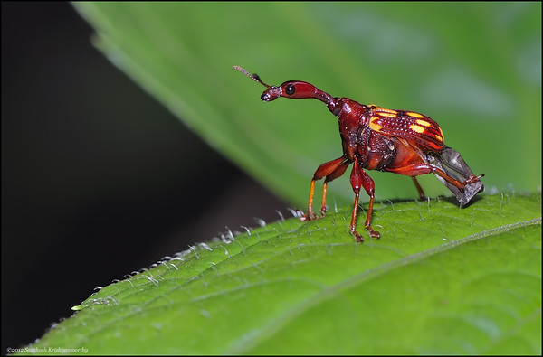 Giraffe Weevil ( insect belonging to the beetle family... )