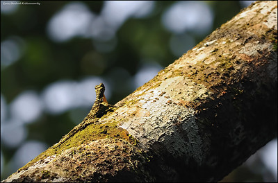 Draco - South Indian Flying Lizard - fantastically camouflaged...looks just like the bark of the tree.......
