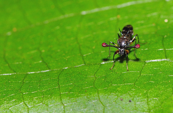 Stalk-eyed fly , the red bulbs on the extended stalks are the eyes ....., amazing creatures......