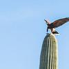 1062_Tucson_Saguaro_Gilbert_Ray