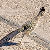 1039_Tucson_Saguaro_Gilbert_Ray