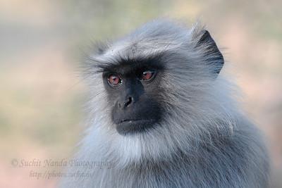 Langur (monkey) seen enroute from Ajmer to Pushkar, Western India.