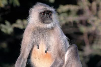 Langur (Monkey), Pushkar, Rajasthan, India