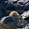 Fur seal sunbathing on the rocks in Akaroa, New Zealand.