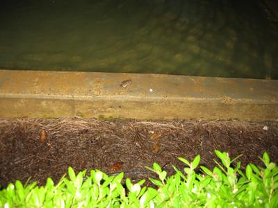Frog: Chattanooga Choo Choo