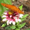 Huntsville, AL - Botanical Garden - Gulf Fritillary Butterfly on Zinnia