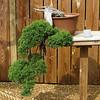 Huntsville, AL - Botanical Garden - Juniper Bonsai - Juniperus chinensis plumosa - 37 years old