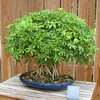 Huntsville, AL - Botanical Garden - Schefflera Bonsai - Schefflera arboricola - 21 years old