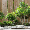 Huntsville, AL - Botanical Garden - Trident Maple Bonsai - 13 years old