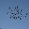 Sometimes these black birds travel in flocks so big that when they land, you cannot see the ground.