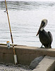 pelican and fishing pole