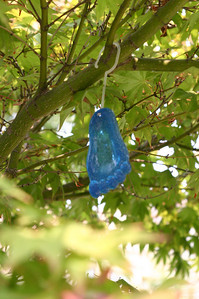 Also in the maple tree--a blue foot. I think it's not native to this environ.