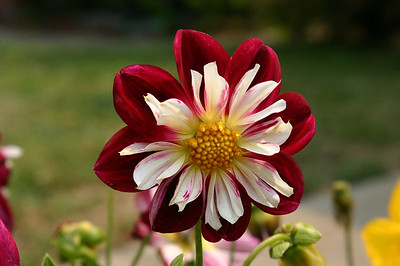 I don't know that kind of flower this red and white one is, but it's quite striking.