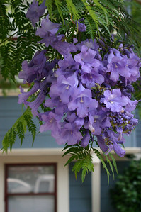 Jacaranda blooms are amazingly profuse