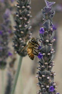 Mr. Bee's big eyes ignore the paparazzi as he finds some particularly excellent lavender.
