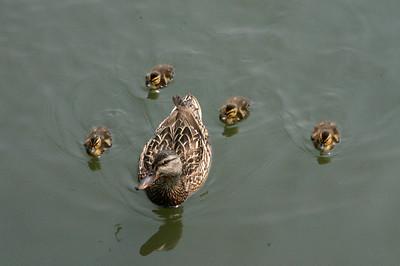 A mother mallard and her offspring.