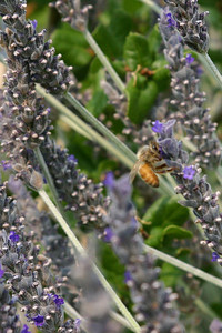 Mr. Bee finds more lavender to pollinate.