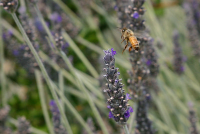 A large stand of lavender teemed with pollinators. Have you ever noticed that bees don't hold still very long at all?